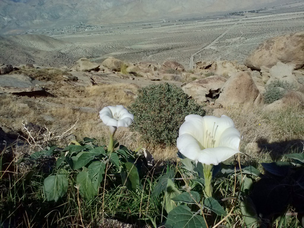 Sacred Datura, or Morning Glory flowers