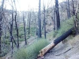 Leftover trees from the 2009 Station Fire