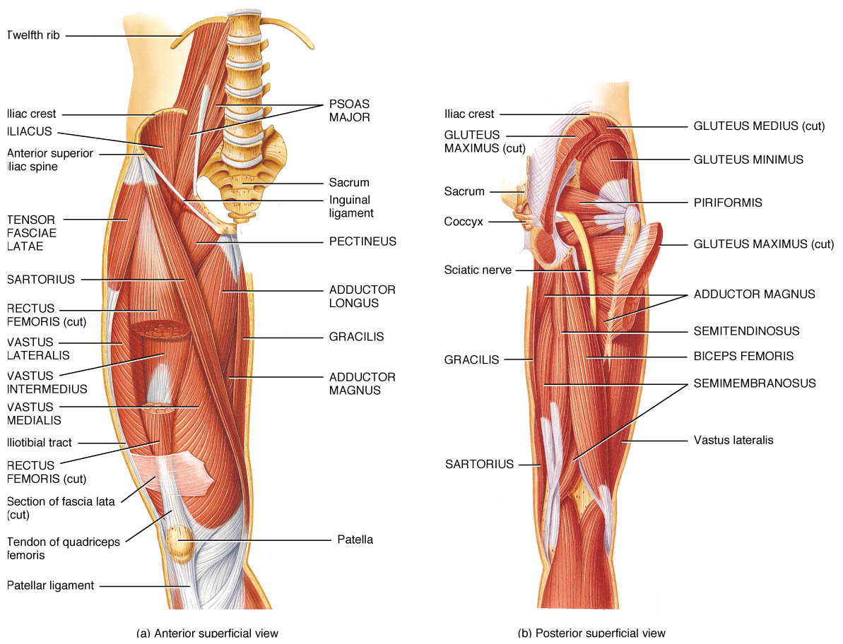 Muscle Strengthening Hip Joint Muscle Strengthening