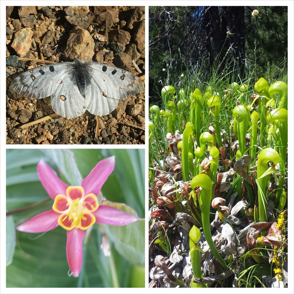 PCT Section P Shasta Trinity National Forest Scott Mountains wildflowers