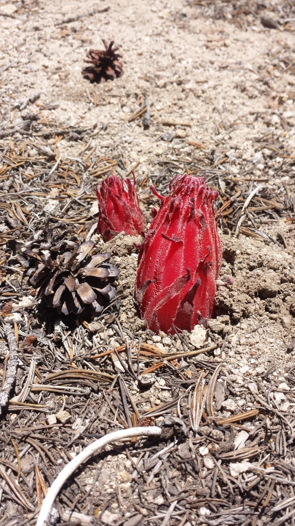 PCT Section G Sequoia National Forest sierra snow plant
