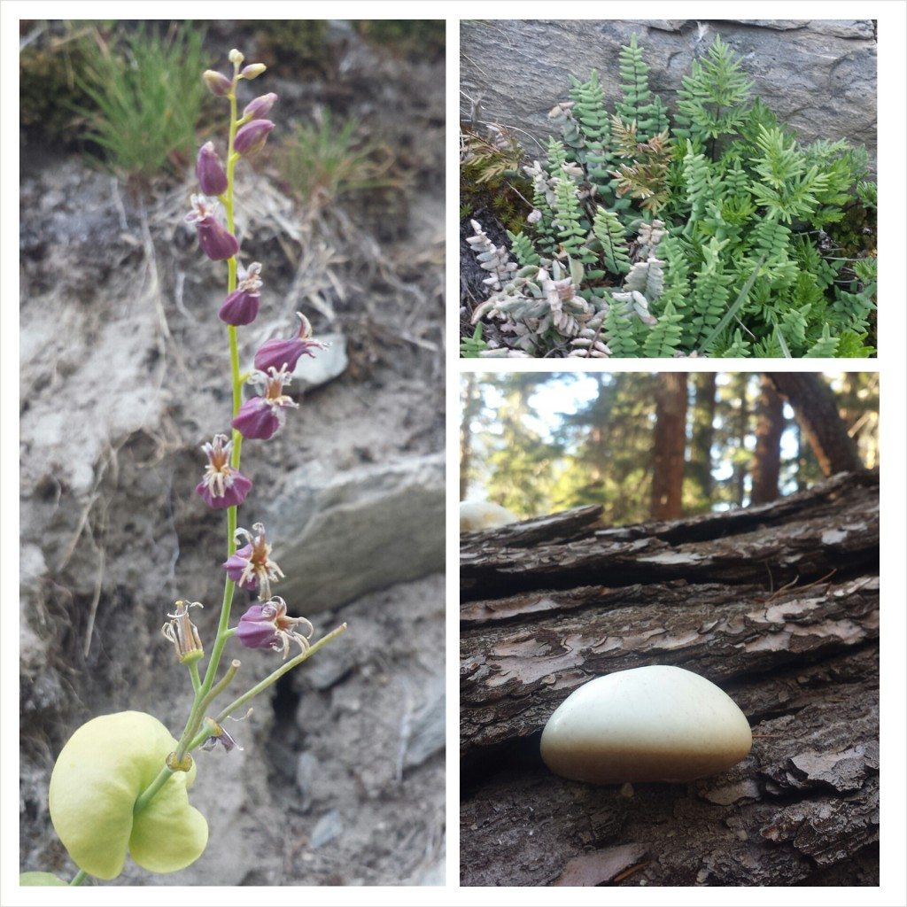 PCT Section H Ansel Adams Wilderness sierra wildflowers mushrooms
