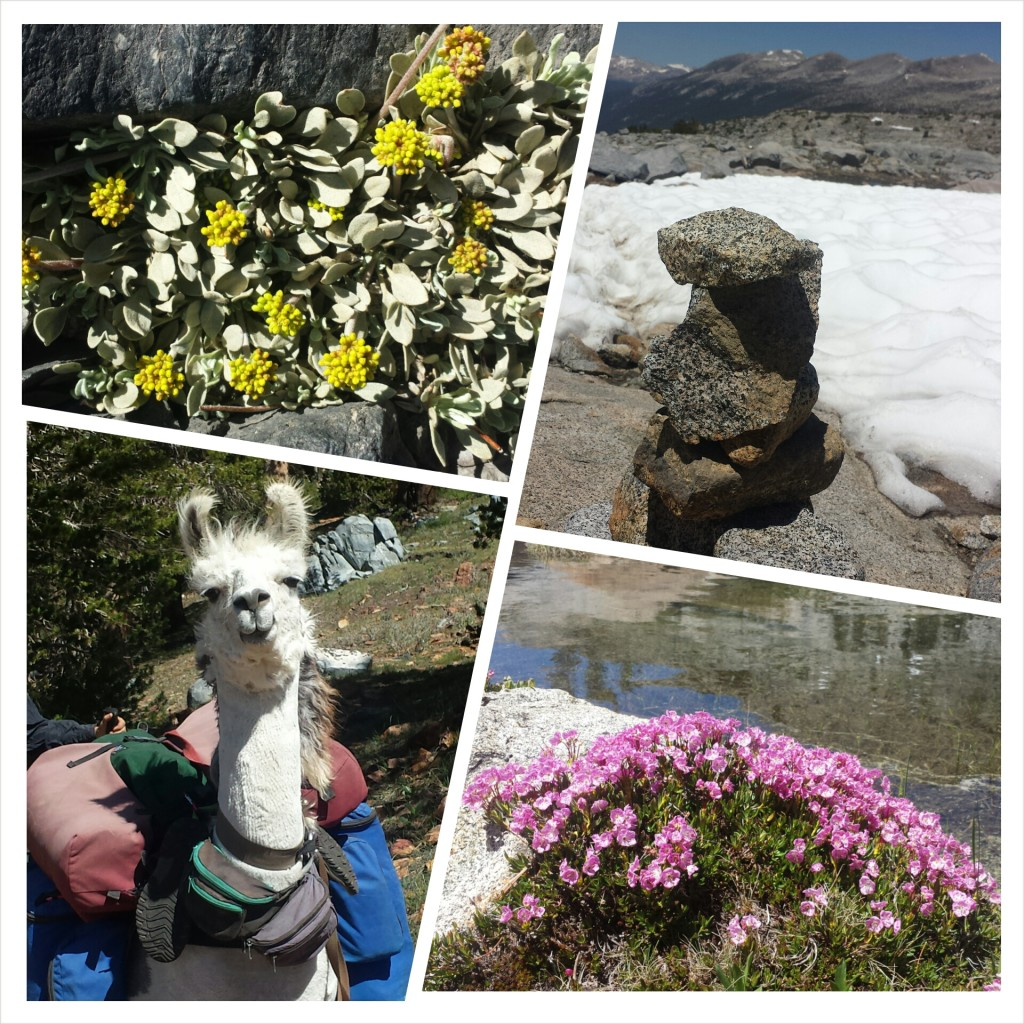PCT Section H Ansel Adams Wilderness pack animal llama wildflowers donahue Pass