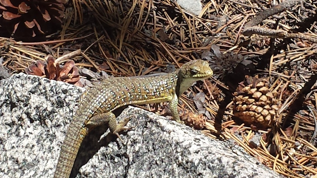 PCT Section I Yosemite Wilderness sierra lizard