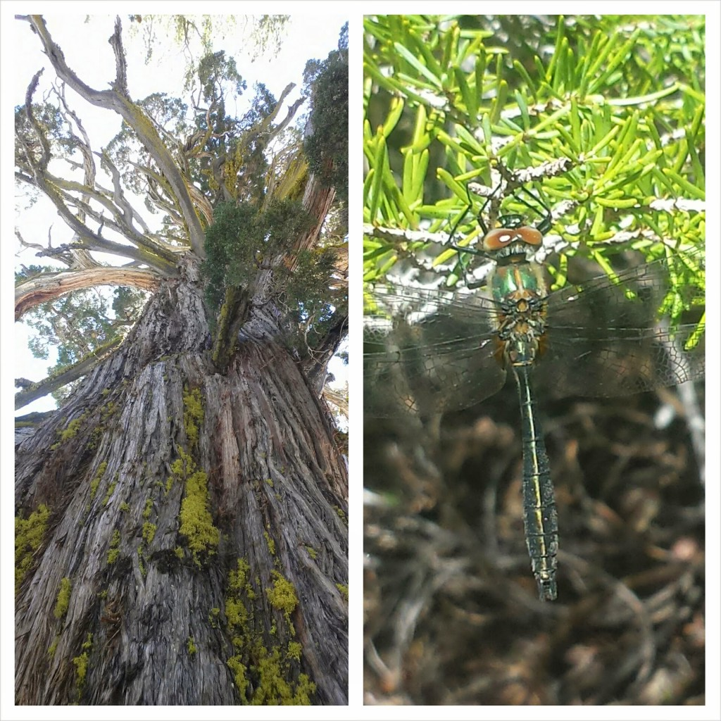 PCT Section J El Dorado National Forest dragonfly