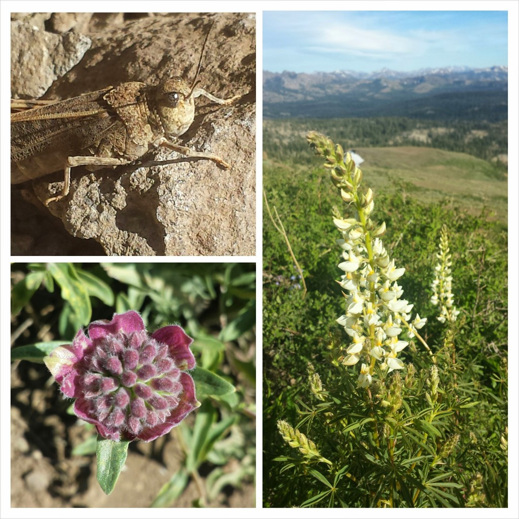PCT Section J Toiyabe National Mokelumne Wilderness wildflowers grasshopper