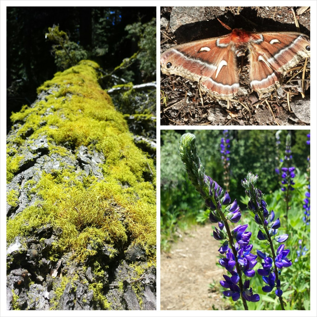 PCT Section El Dorador National Forest Desolation Wilderness wildflowers moth